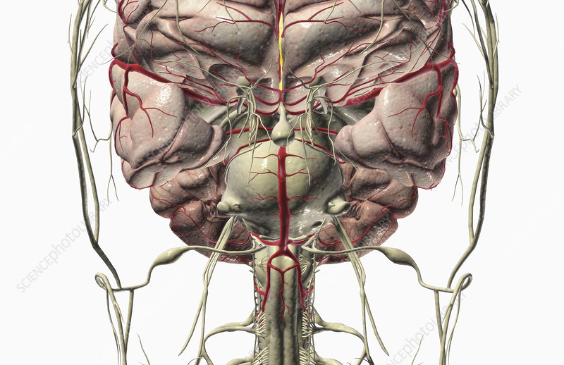 The brain and nerves of the head