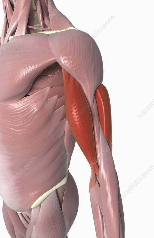 The Biceps And The Triceps Brachii Stock Image F0023886 Science