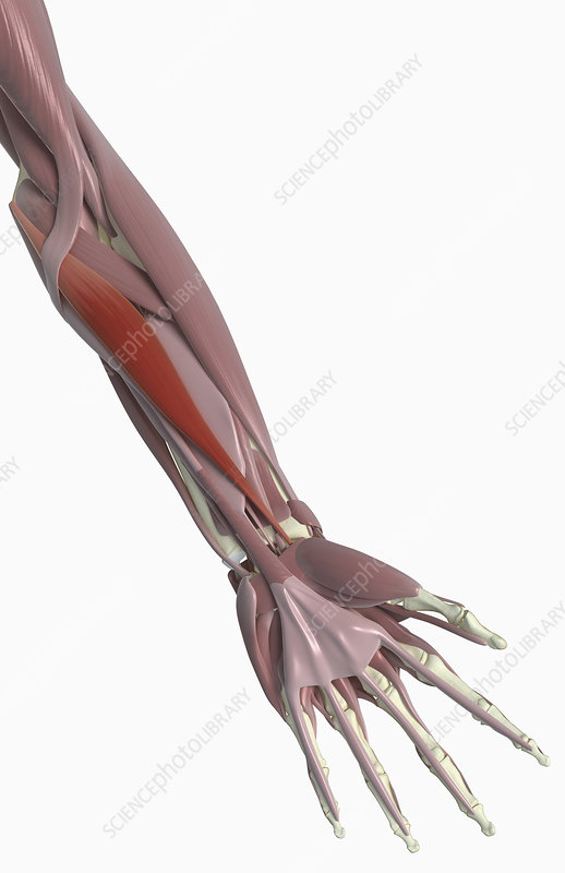 Flexor carpi radialis - Stock Image - F002/3919 - Science
