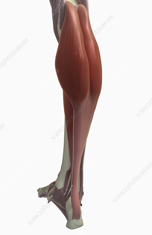 Gastrocnemius muscle - Stock Image F002/3979 - Science Photo Library