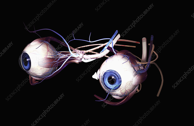 External anatomy of the eyes