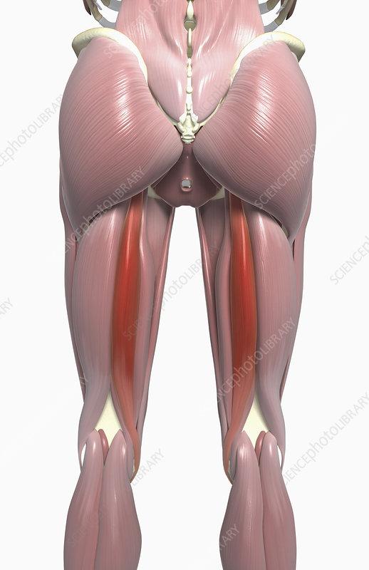 Semitendinosus muscle - Stock Image F002/4031 - Science Photo Library