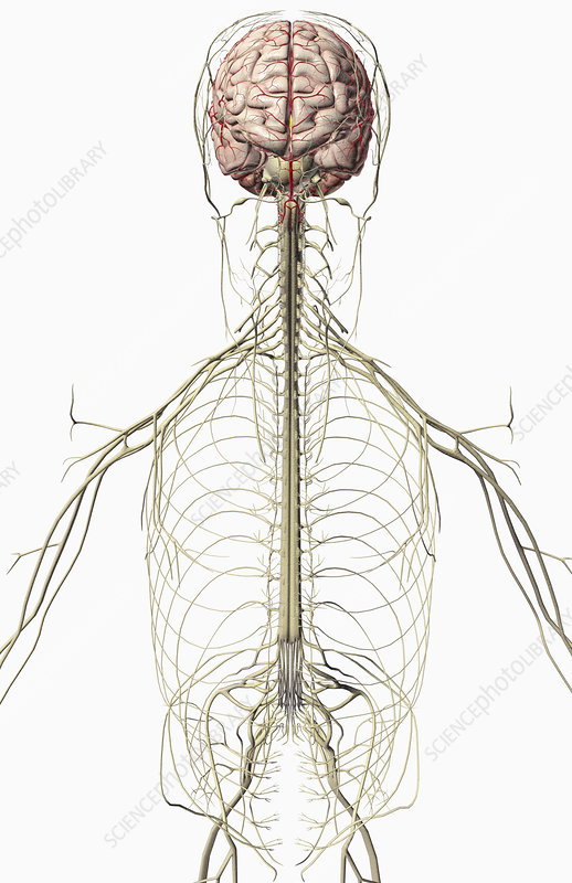 The brain and the nerves of the upper body
