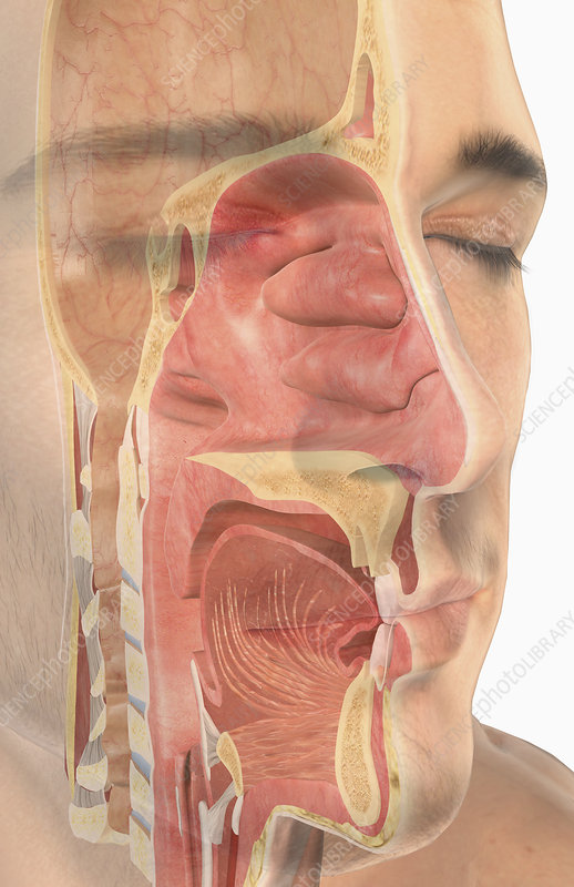 The upper respiratory system