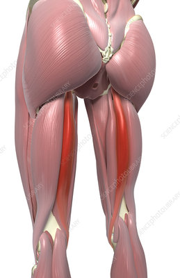 Semitendinosus muscle