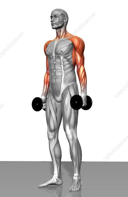 Dumbbell shrug exercise (Part 2 of 2)
