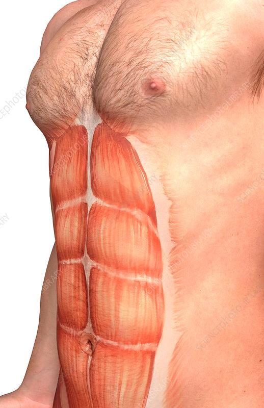 Rectus abdominis - Stock Image F002/4239 - Science Photo Library