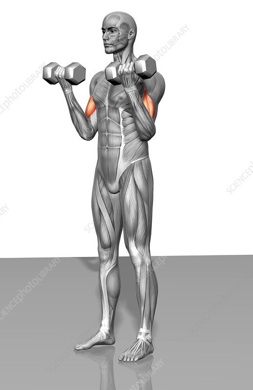 Standing biceps curl (Part 1 of 2)