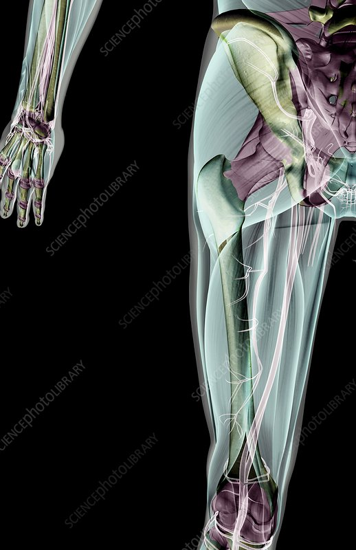 The ligaments of the hip and lower limb