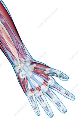The ligaments of the hand