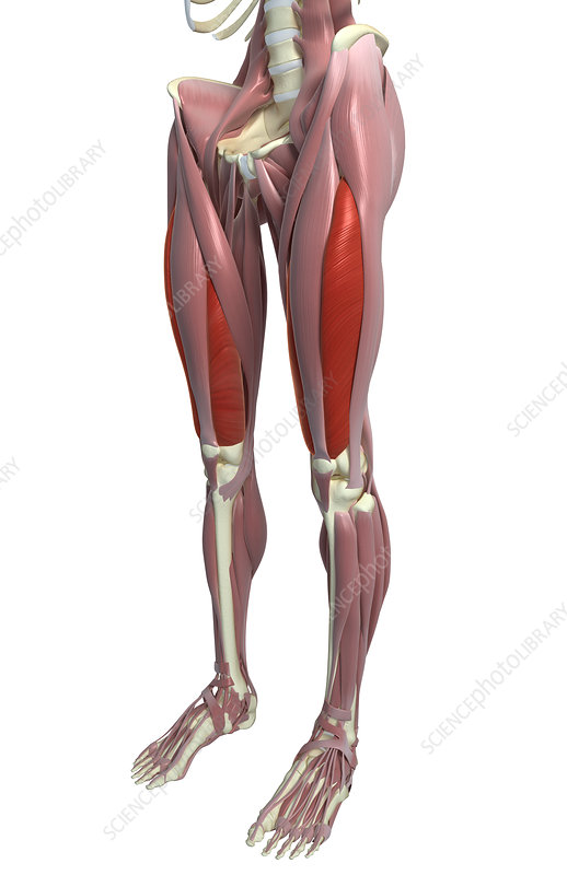 The muscles of the thigh