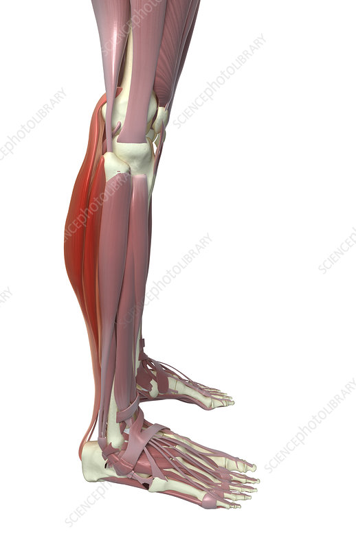 Gastrocnemius and soleus muscle