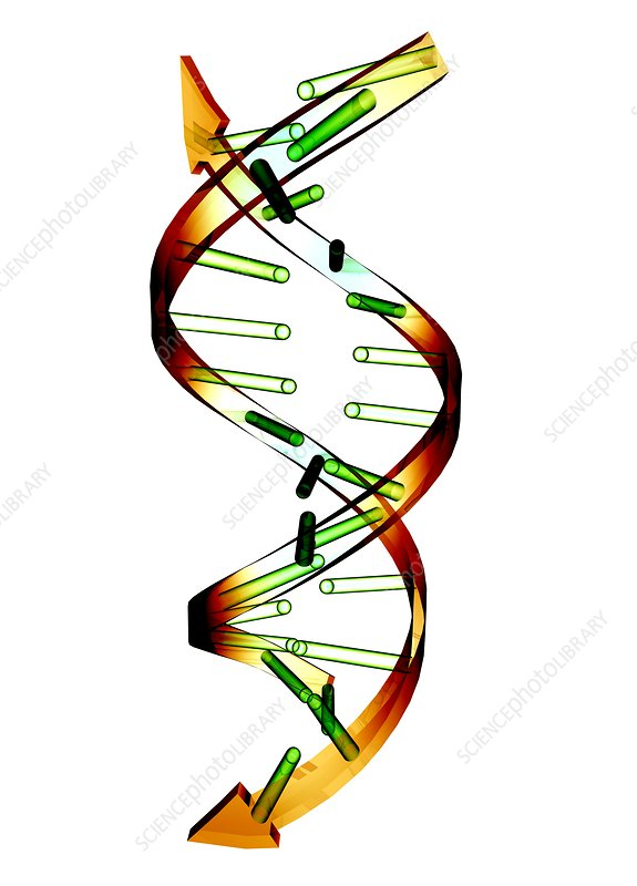 Unzipped DNA molecule, artwork