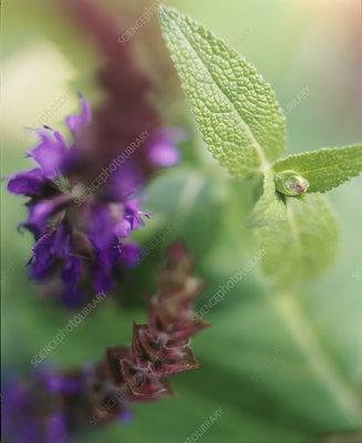 Sage (Salvia sp.)