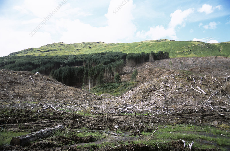 Deforested conifer plantation
