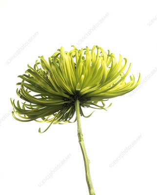 Chrysanthemum (Chrysanthemum 'Shamrock')