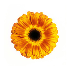 Yellow gerbera (Gerbera sp.)