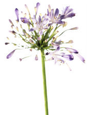 African blue lily (Agapanthus sp.)