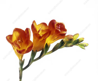 Freesia (Freesia sp.)