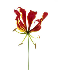 Flame lily (Gloriosa sp.)