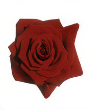 Red rose (Rosa 'Grand Prix')