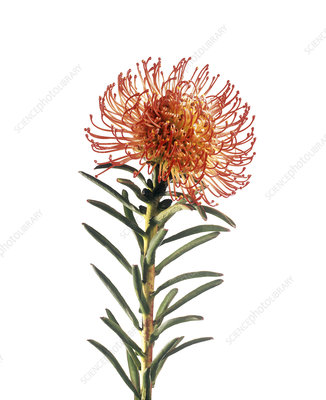 Pincushion flower (Leucospermum sp.)