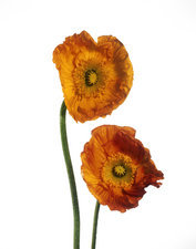 Orange poppy flowers (Papaver sp.)