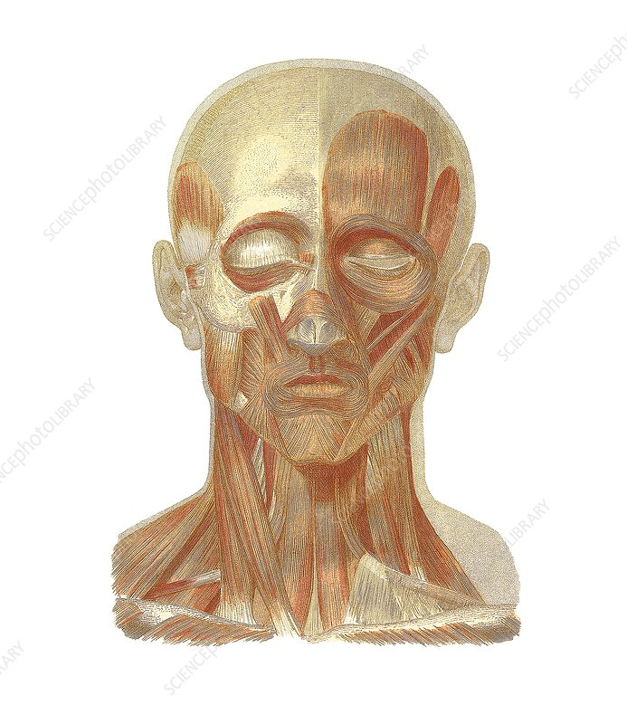Musculature of the head, artwork