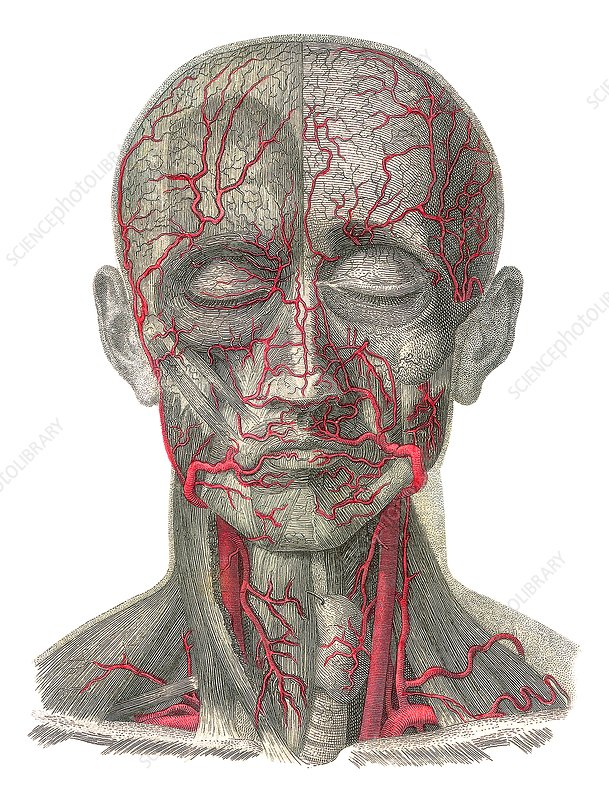 Blood vessels of the head, artwork