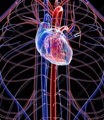 Human heart, artwork