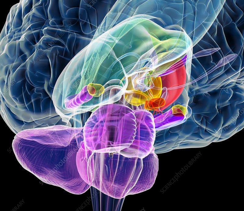 Brain anatomy, artwork