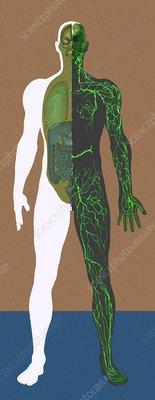 Lymphatic system, artwork