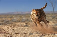 Cheetah running, artwork