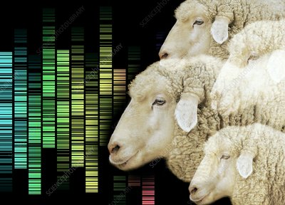 Cloned sheep, conceptual image