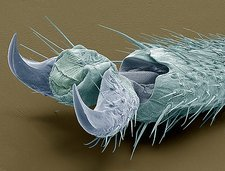 Stick insect foot, SEM