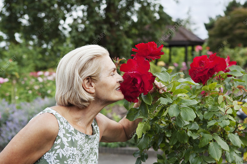 Woman smells red rose in rose garden
