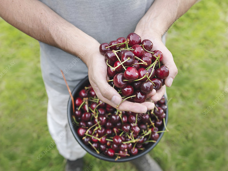 Man holding freshly picked cherries