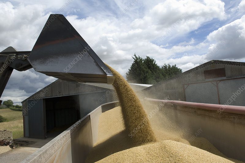Loading grain into lorry