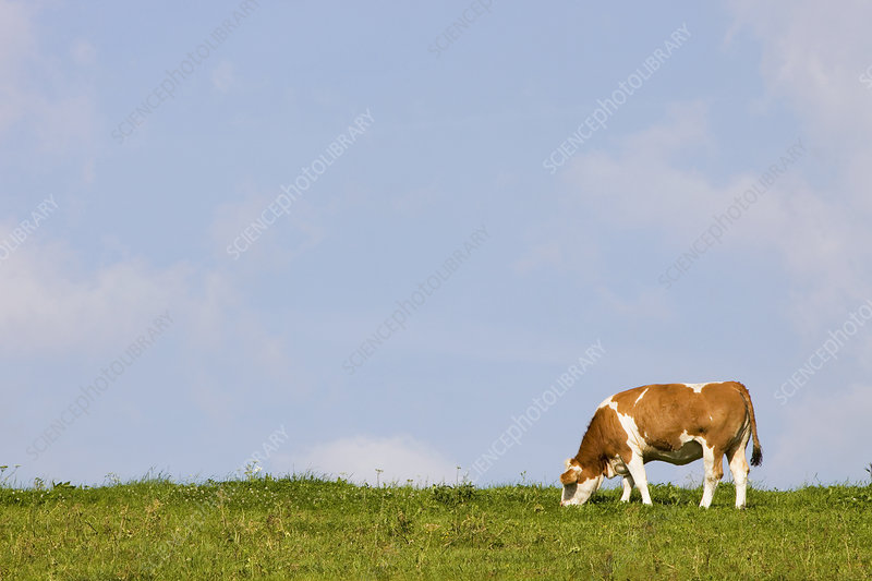 A cow on a field