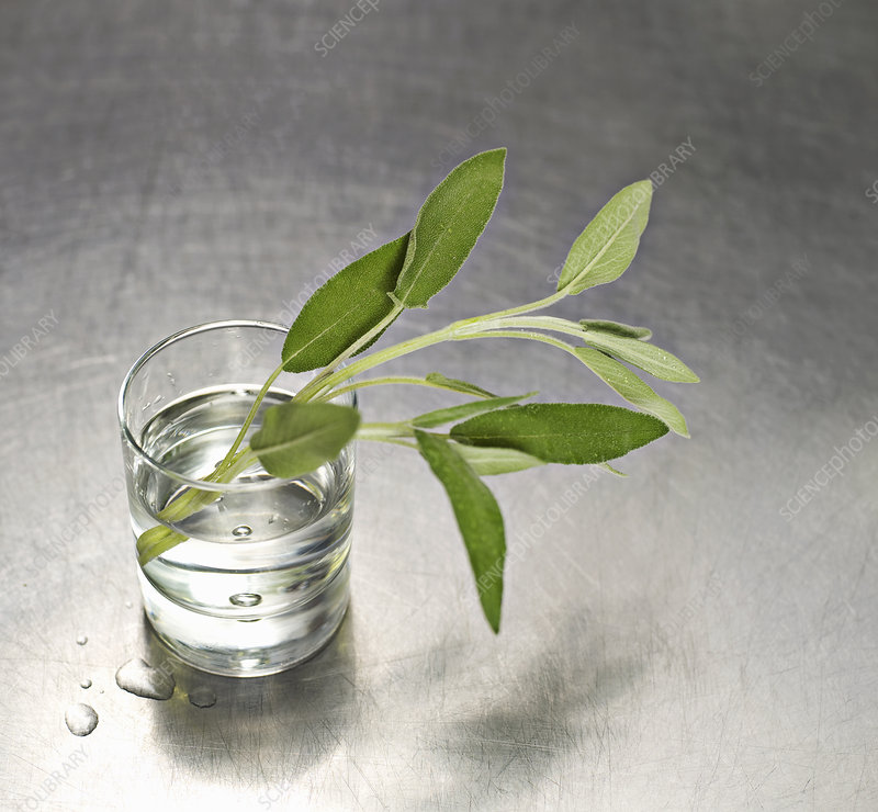 A water glass with a sprig of sage in it
