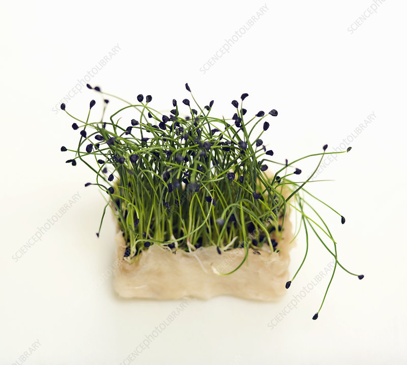 Some fresh cress