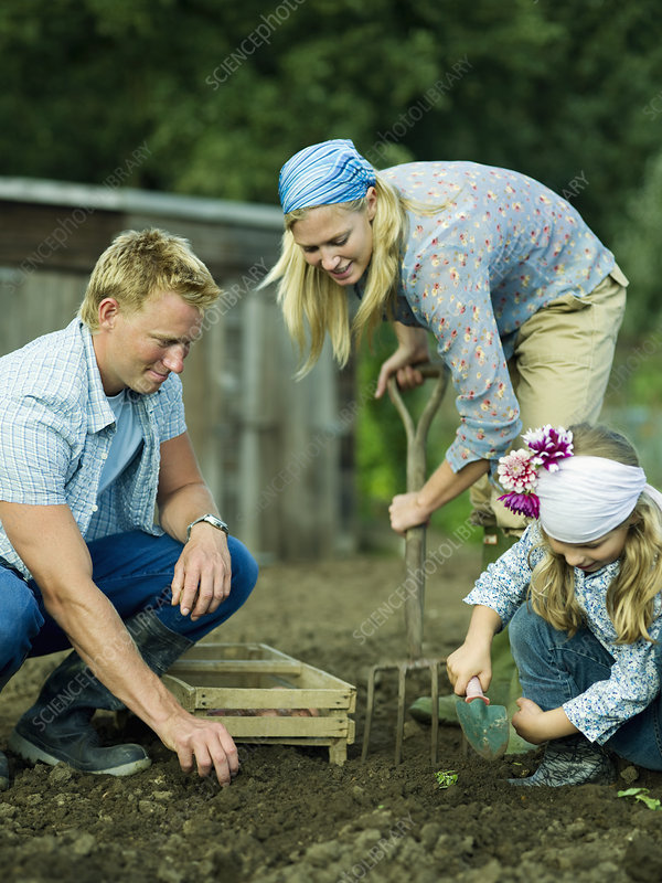 A Family Working In A Vegetable Garden Stock Image F003 6526 Science Photo Library
