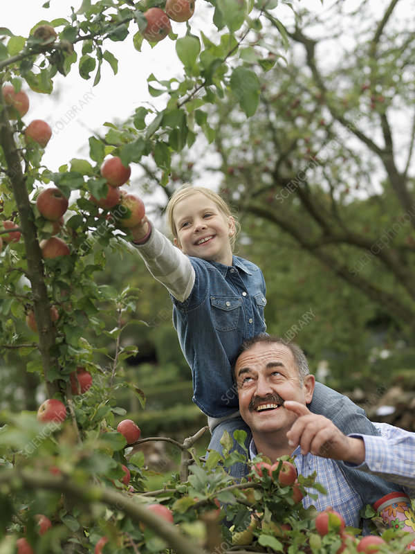 Man and girl picking apples on shoulders