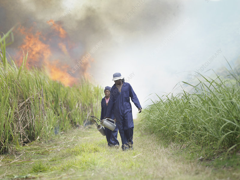 Workers In Sugar Cane Field With Fire