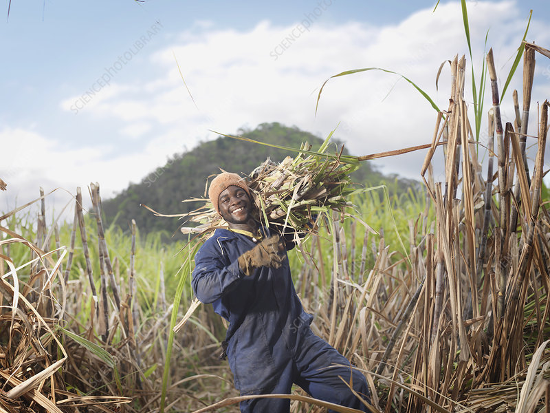 Worker Carrying Sugar Cane