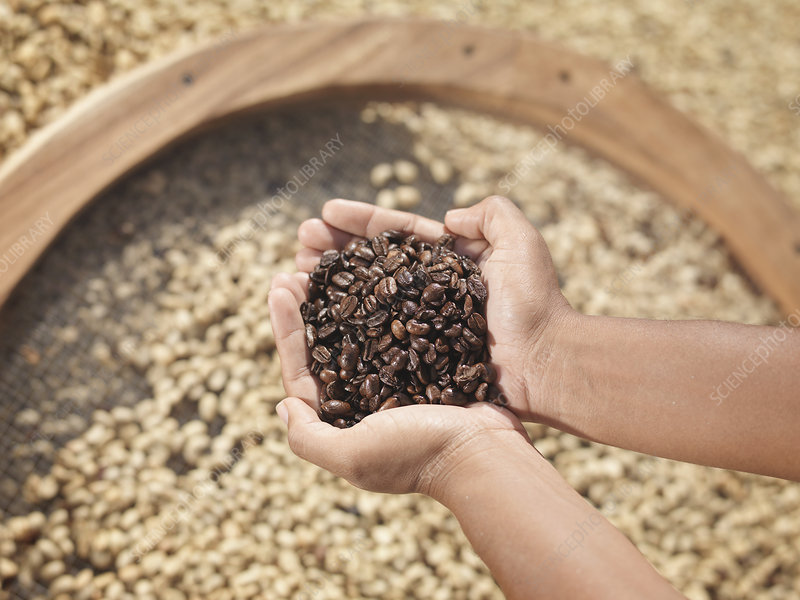 Hands Holding Roasted Coffee Beans