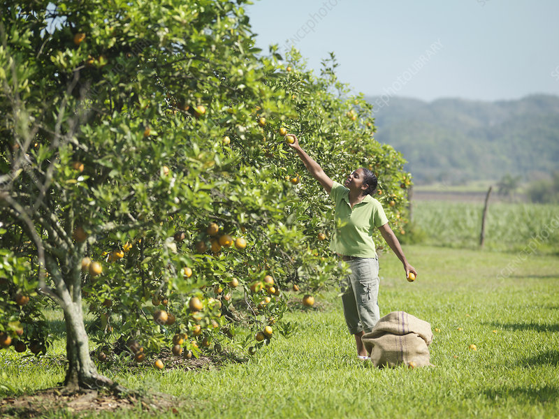 Female Worker Picking Oranges