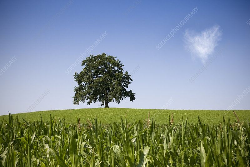 oak tree on hill in summer