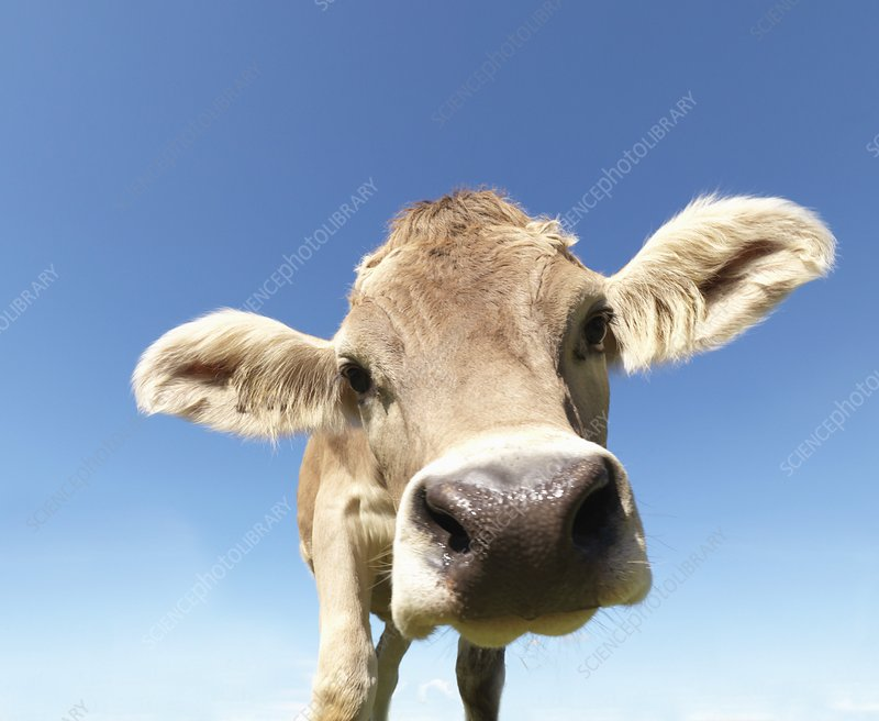 Cow in field, close-up