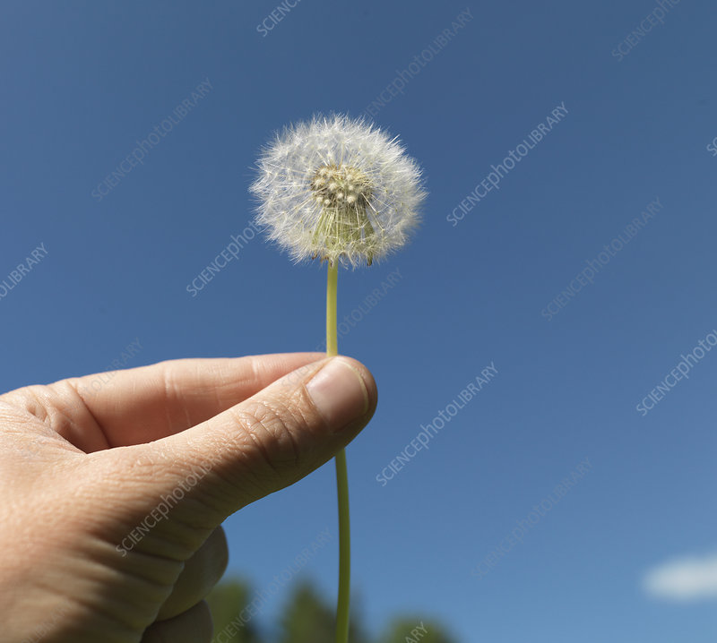 Senior woman holding dandelion